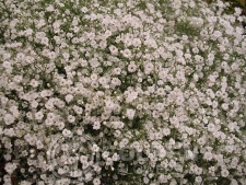 Gypsophila - Perfecta