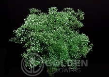 Gypsophilia - Tinted Green