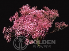 Gypsophila - Tinted Hot Pink