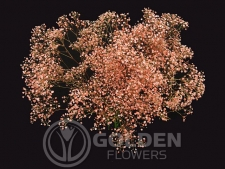 Gypsophila - Tinted Orange