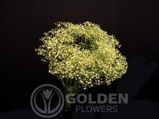 Gypsophila - Tinted Yellow
