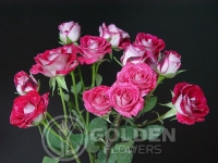 Spray Roses - Cherry Follies