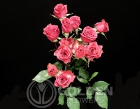 Spray Roses - Pink Follies