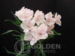 Alstroemeria - Diamond