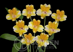 Alstroemeria - Eleanor