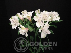 Alstroemeria - Everest
