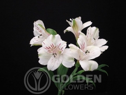 Alstroemeria - Virginia