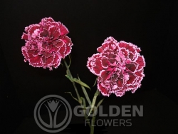 Carnation - Nobio Burgundy