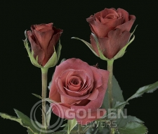 Coloured Rose - Castera