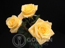 Coloured Rose - Aalsmeer Gold