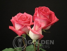 Coloured Rose - Verdi