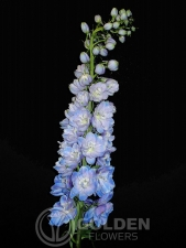 Delphinium Guardian Picture 1