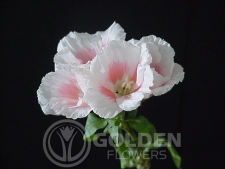 Godetia - Light Pink