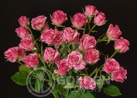 Spray Roses - Pink Flash