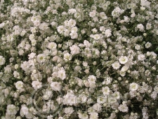 Gypsophila - Million Star