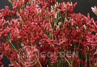 Limonium - Tinted Red