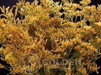 Limonium - Tinted Yellow