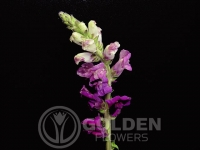 Snapdragon - Purple