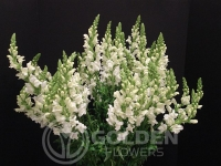 Snapdragons - White