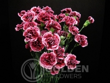 Miniature Carnations - Berry