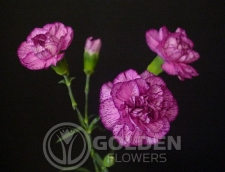 Miniature Carnations - Purple Spectro
