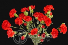 Miniature Carnations - Rony