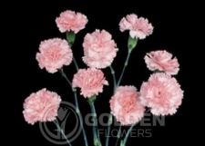 Miniature Carnations - Splendid