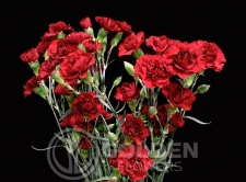 Miniature Carnations - Yoder Dot