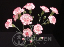 Miniature Carnations - Yoder Face
