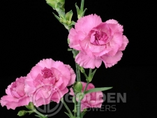 Miniature Carnations - Rachel