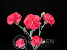Miniature Carnations - Rox