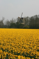 Holland Flowers